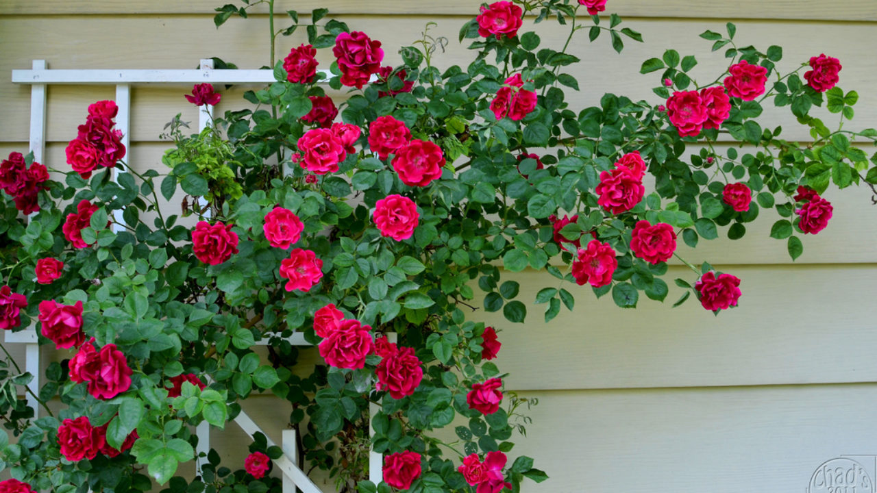 trồng hoa hồng tại nhà